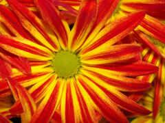 цветы, amarillo, rojo