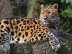 леопард, морда, смотреть