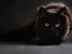 кот, black, zhivotnye