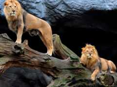 львы, zhivotnye, puzzle