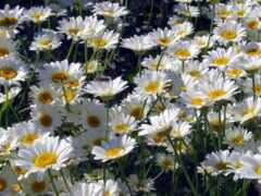 daisy, цветы, white