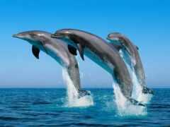 дельфина, три