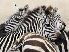 картины, зебры, zebra