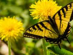 бабочка, одуванчики, одуванчике