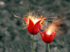 цветы, тюльпан, black