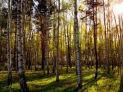 лес, береза