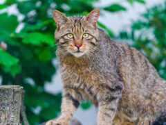 gato, austrália, animal