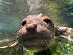 тюлень, marine, water