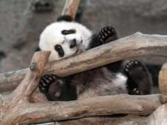 панда, user, доска