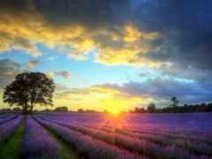 lavender, stock, stunning