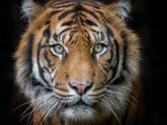 тигр, глаза, raw