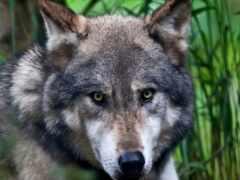 ipad, волк, oir