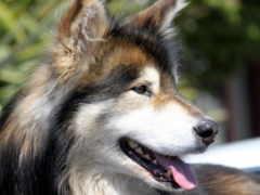 собак, собака, online