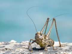 animal, жук, cricket