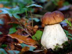 грибы, белые, mushroom