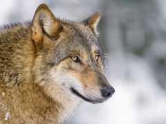 волк, funart