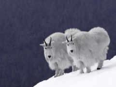 козлы, горные