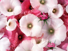 цветы, hollyhock, ко