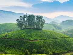 india, kerala, чая