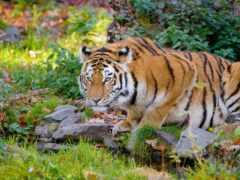 тигр, shirokoformatnyi, кошка
