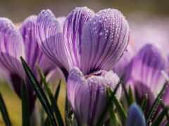 цветы, крокус, весна