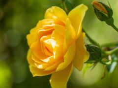 hoa, hương, vàng