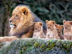 lion, львы, красивые