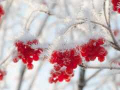 winter, заставка, рябина