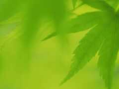 leaf, зелёный, дерево