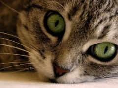 глазами, кот, зелёными