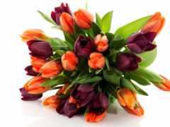 тюльпан, клипарт, cvety