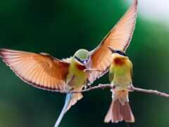 колибри, птица