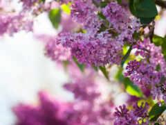 цветы, сиреневый