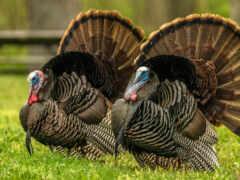 turkey, порода, wild