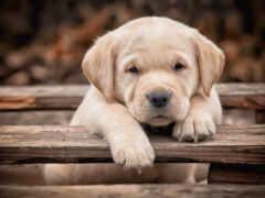 собака, взгляд, щенок