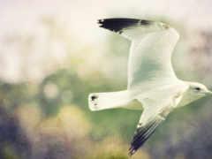 птица, чайка, mobile
