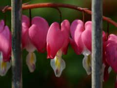 ветка, цветущая, risunok