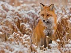 фокс, снег, трава