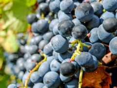 виноград, uva, salento