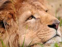 lion, грустный, льва