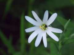 aster, hairy, white