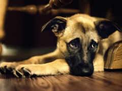 собака, полукровка, смотрит