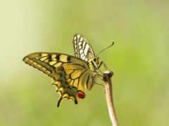 бабочка, макро, насекомое