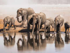 слон, african, watering