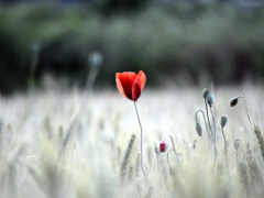 устройство, poppy, природа