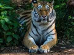 кот, animal, тигр