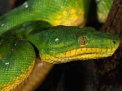 snake, руб, морда