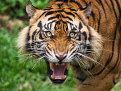 ухмылка, тигр, human