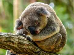 коала, дерево, медведь