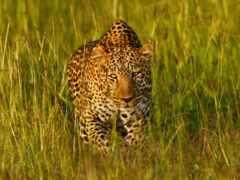 трава, леопард, африка